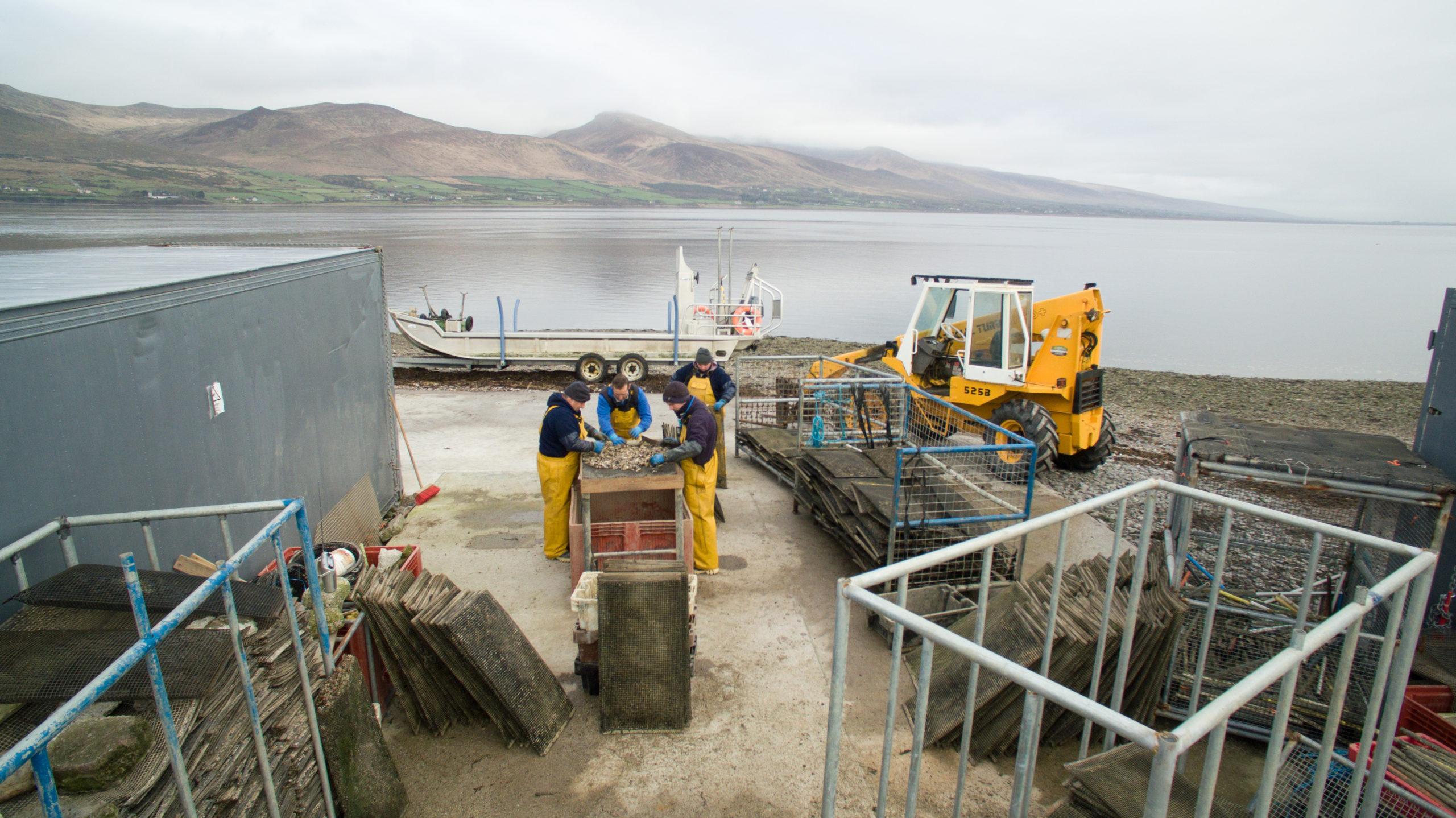 Cromane Bay Oyster Grading