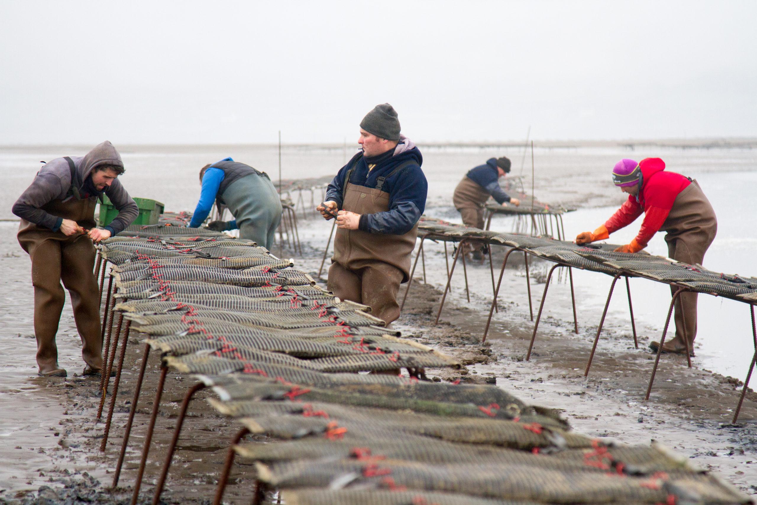 Cromane Bay Shellfish Oyster Trestles Team