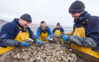 Cromane Bay Shellfish grading Oysters