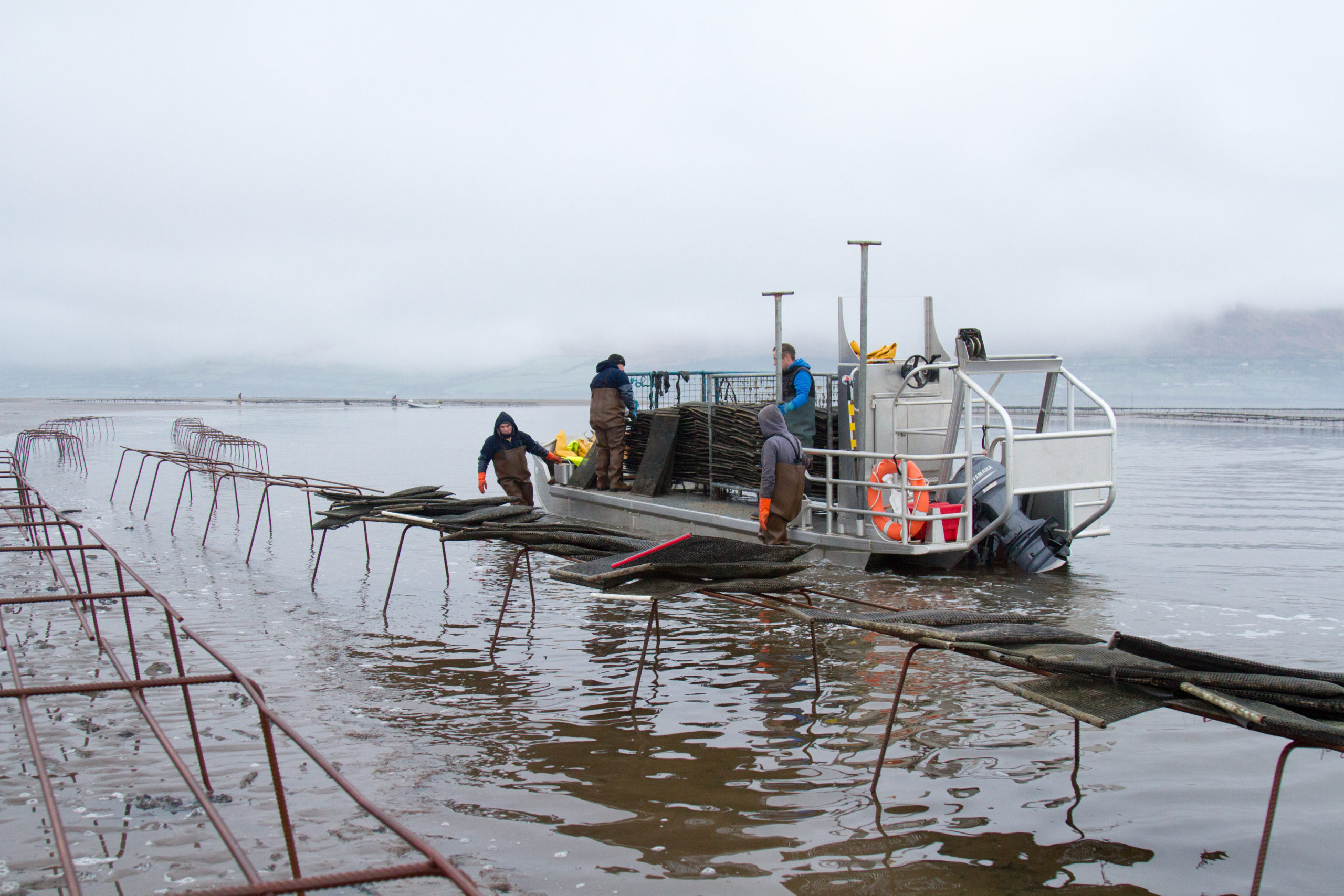 Cromane Bay Shellfish placing Oysters on Trestles