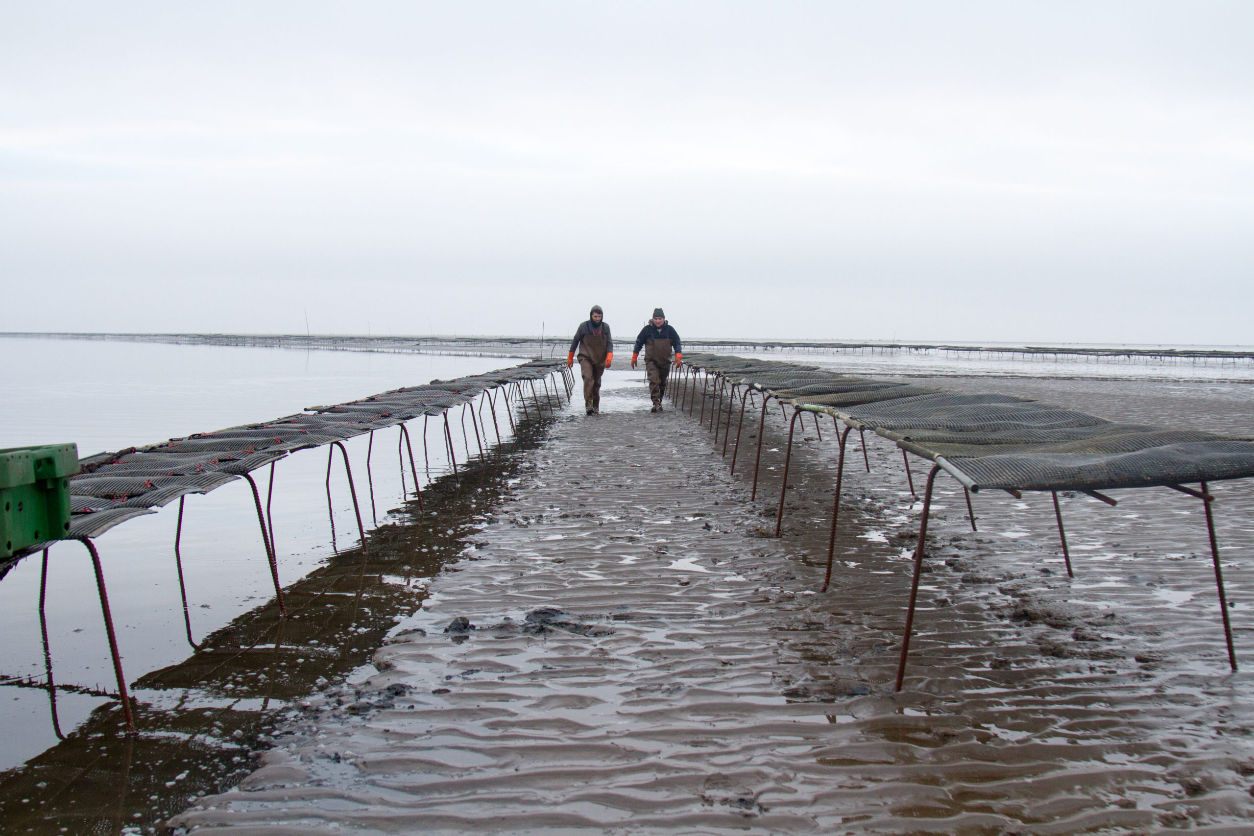 Cromane Bay Shellfish walking through Trestles