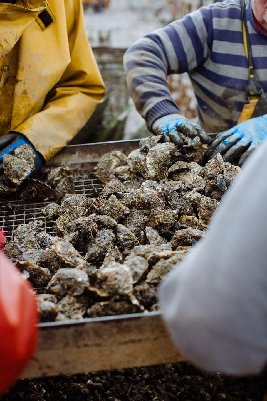 Cromane Bay Shellfish grading oysters @edschofieldphoto