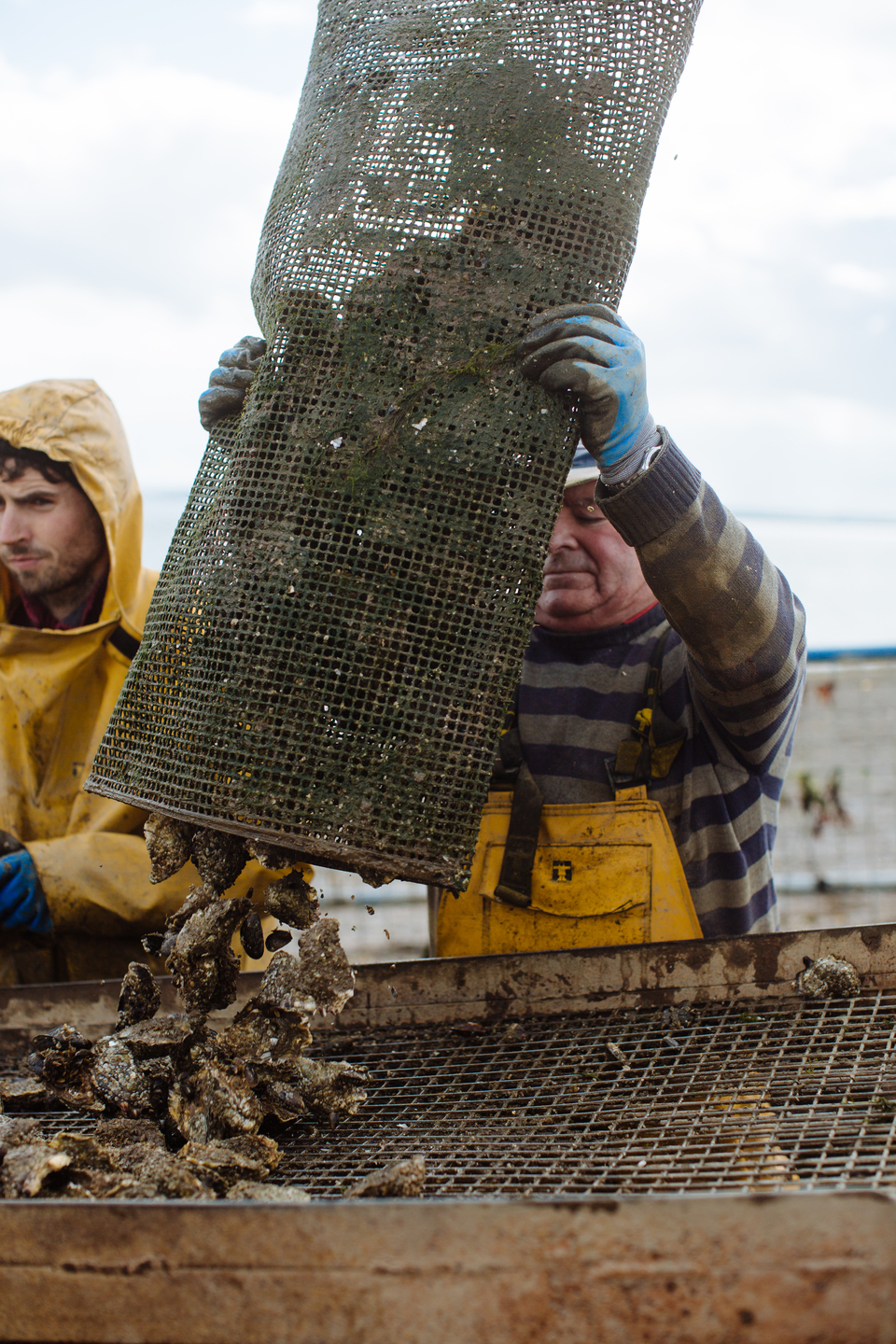 Cromane Bay Shellfish grading oysters out of bag @edschofieldphoto