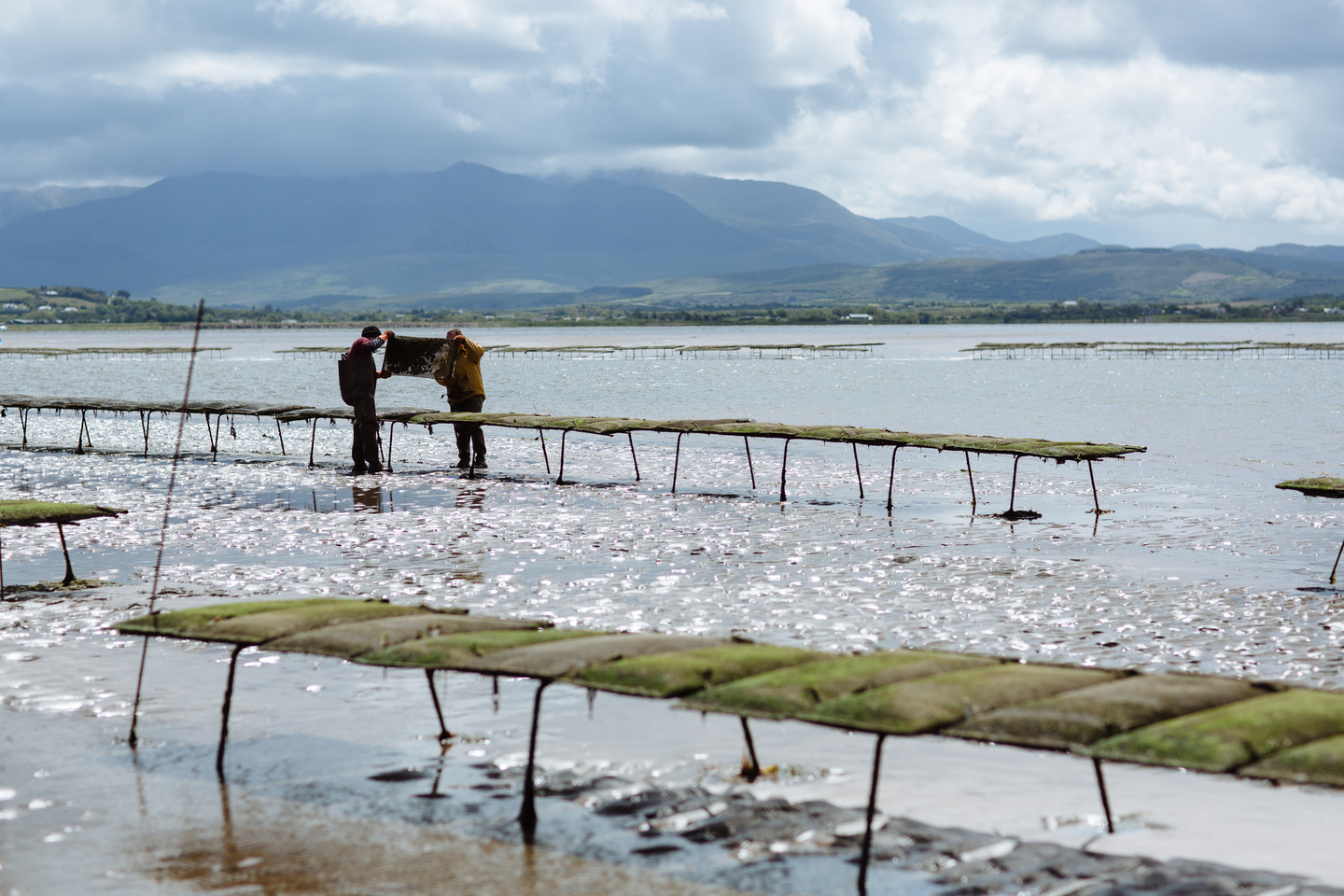Cromane Bay Shellfish on oyster farm @edschofieldphoto