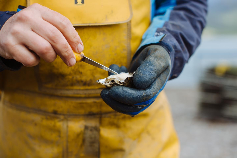 Patrick T O Sullivan turning oysters Cromane Bay Shellfish @edschofieldphoto